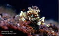 Gnathophyllum americanum - A hungry Bumble Bee Shrimp chewing on vegetables...