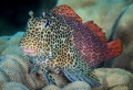 The Elusive Leopard Blenny