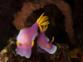 Hypselodoris apolegma, Shoot in Bangka,north Sulawesi,Indonesia i use Sony RX100 in Recsea housing+Inon UCL100 Macro lens and 2XInon S2000 strobe.