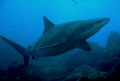 Big Galapagos shark, taken at Wolf island, Galapagos.