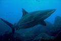 Big Galapagos shark, taken at Wolf island, Galapagos.