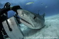 Just a rub on the nose gets a good reaction. Tiger Shark love at Tiger Beach - Bahamas