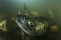 The chaos when 60,000 Chum salmon are trying to swim up rising rivers to spawn. Males of this species grow large teeth at breeding time, giving rise to their other name, the dog salmon.