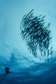 Diver and School of Barracuda
