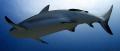 Reef Shark, Roatan