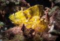 Leaf Fish at Bunaken Island