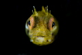 Golden Rough-head Blenny
