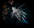 Lion Fish near Bunaken Island