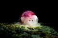 Bullina sp.  Bubble shell