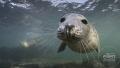Wanna play? Grey seal in Farne Islands