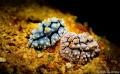 What a sweet couple  its common but still beautiful creature.  Nudibranch ID Phyllidia exquisita Shutter 200  F10 Canon650D meikon housing  13macro filter  2sea sea YS03 Tungku abdul rahman park  sulug island