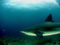 Caribbean reef Shark, taken at Jardines del la reina - Cuba.