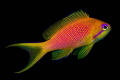 Lyretall Anthias