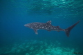 Solo Whaleshark  sighted in Oslob  Cebu  Philippines