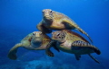 Turtle Pyramid. 3 Green Turtles on the Great Barrier Reef.