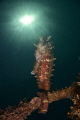 Thorny Sea Horse in Dauin, Negros Oriental, Philippines.