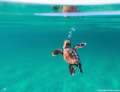 A loggerhead Sea turtle makes his or her way out to sea!