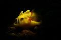 Yawning Frogfish