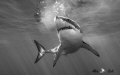 BW of Great White Shark