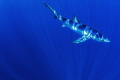 Into the Blue. A blue shark in deep blue water 30 sea miles from Cape Point, South Africa