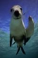 Snoopy! Australian Sealions, Western Australia