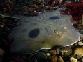 Large skate in Puget Sound