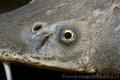 Acipenser baerii - Siberian Sturgeon