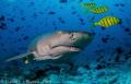 The look of a  Lemon Shark
