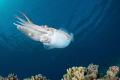 Cuttlefish have Jet Propulsion