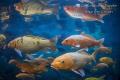 Coy Fishes in river, Las Estacas Mexico