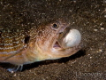 A lizard fish, trying to swallow a juvenile pufferfish.