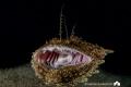 AARRGHHHH   - Anglerfish, night dive