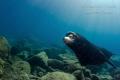 Male Sea Lion encounter, Isla Espiritu Santo Mexico