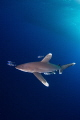 Oceanic White Tip at Little Brother