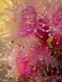 Strawberry anemones - Hermanus - South Africa
