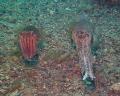 Cuttlefish Rapid Bay Jetty South Australia