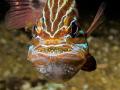 Cardinal fish showing eggs
