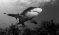 Lemond shark