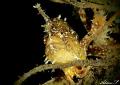 Sargassum Froggish Portrait