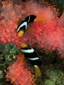 pinky anemone