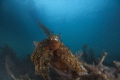 Blairgowrie Cuttlefish