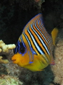The Royal Angelfish  Pygoplites diacanthus