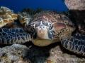 Green Sea Turtle, Apo Island