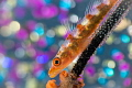 Goby with eggs.