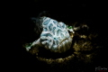 Juvenile psychedelic frogfish