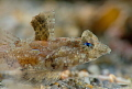 Female Lancer Dragonet