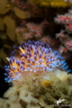 A gasflame nudibranch brings even more colour to the beautiful pinnacles at Noble Reef, Gordon's Bay