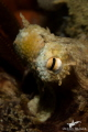 A common octopus peers inquisitively from his hiding place on the reef.