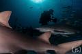 Shark Diver at Tiger Beach
