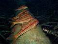 Mullus surmuletus Mullus team was warming up on the pipe line at Korumar Bay.